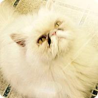 Adopt A Pet :: Kashina - Redondo Beach, CA