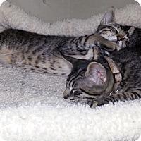 Adopt A Pet :: Lynx - Gilbert, AZ
