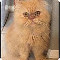 Adopt A Pet :: Drumstick - Gilbert, AZ