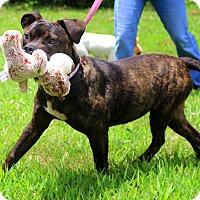 Adopt A Pet :: Puddin~ meet me! - Glastonbury, CT