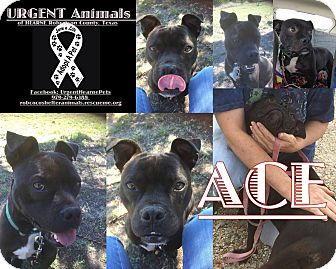 American Bulldog/Boston Terrier Mix Dog for adoption in Hearne, Texas - Ace