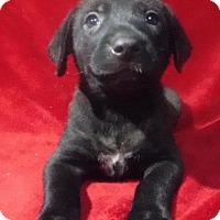 Shepherd (Unknown Type) Dog for adoption in Batesville, Arkansas - Lumiere