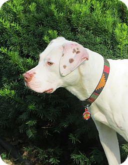 English Pointer/Boxer Mix Dog for adoption in Wood Dale, Illinois - Fergus