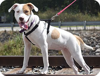 Pit Bull Terrier Mix Dog for adoption in Evansville, Indiana - Tasha