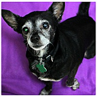 Chihuahua Dog for adoption in Forked River, New Jersey - Shadow