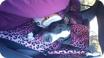 Pit Bull Terrier Mix Puppy for adoption in Baltimore, Maryland - (COURTESY POST)