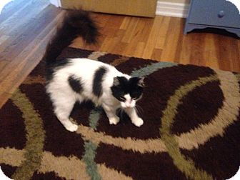Domestic Mediumhair Kitten for adoption in Cleveland, Ohio - Murray