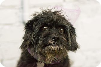 Poodle (Miniature)/Schnauzer (Miniature) Mix Dog for adoption in Norwalk, Connecticut - Annabella - MEET ME