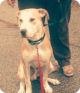 Labrador Retriever Mix Dog for adoption in Northumberland, Ontario - Bruno