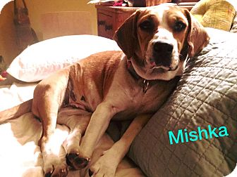Beagle/Hound (Unknown Type) Mix Dog for adoption in Uxbridge, Massachusetts - Mishka