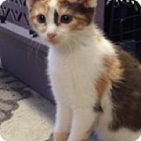 Adopt A Pet :: Reese - Spayed Kitten - Hillside, IL