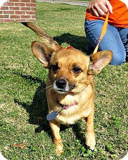 Chihuahua/Corgi Mix Dog for adoption in McKinney, Texas - Aubrey