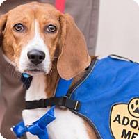 Adopt A Pet :: Philip - Washington, DC