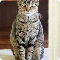 Domestic Shorthair Cat for adoption in St Louis, Missouri - Amazon