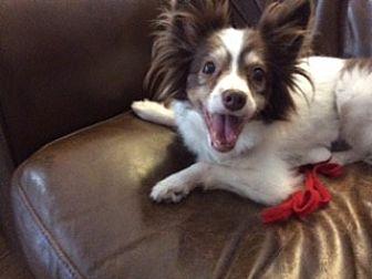 Papillon Dog for adoption in Jacksonville, Florida - Dixie Lee