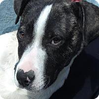 Adopt A Pet :: Chiffon, outgoing baby girl - Snohomish, WA