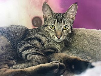 Domestic Shorthair Cat for adoption in Island Park, New York - Colleen