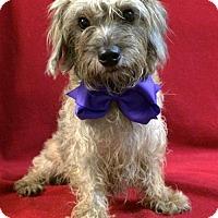 Adopt A Pet :: Pippa - Thomspn, CT