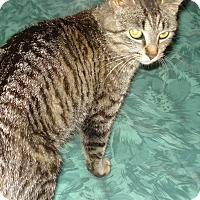 Domestic Shorthair Cat for adoption in Woodstock, Ontario - Jennie