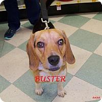 Adopt A Pet :: BUSTER - Ventnor City, NJ