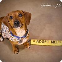 Adopt A Pet :: Redbud Blume - Houston, TX