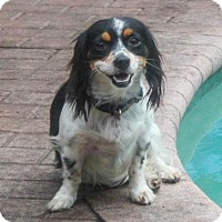 Cavalier King Charles Spaniel Mix Dog for adoption in Jupiter, Florida - Roxy