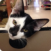 Domestic Shorthair Kitten for adoption in Palm desert, California - Spotlight