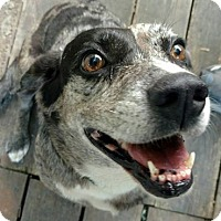 Blue Heeler Mix Dog for adoption in Springfield, Missouri - Lady Dot