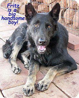 Shepherd (Unknown Type)/Belgian Laekenois Mix Dog for adoption in Poway, California - Fritz