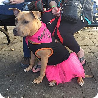 Staffordshire Bull Terrier Dog for adoption in Raleigh, North Carolina - Sadie
