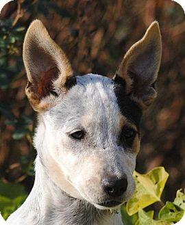 Australian Cattle Dog Mix Puppy for adoption in Cedartown, Georgia - Deborah
