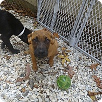 Adopt A Pet :: Cyla - Glastonbury, CT