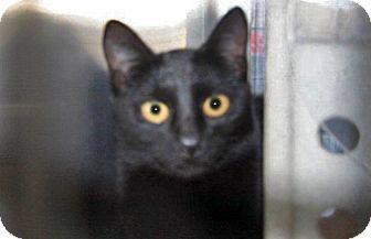 Domestic Shorthair Kitten for adoption in Wildomar, California - 321525