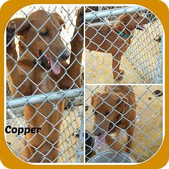 Labrador Retriever Dog for adoption in Malvern, Arkansas - COPPER
