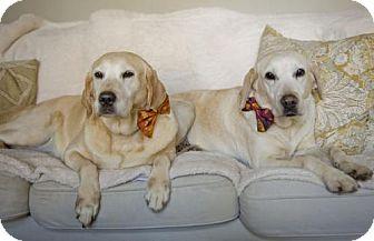 Labrador Retriever Dog for adoption in Warrington, Pennsylvania - Lucy Phoenix