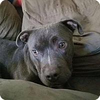 Adopt A Pet :: Henry - Dayton, OH