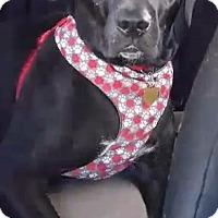 Adopt A Pet :: Havoc - Jerseyville, IL