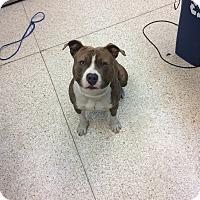 Adopt A Pet :: Beefy - University Park, IL