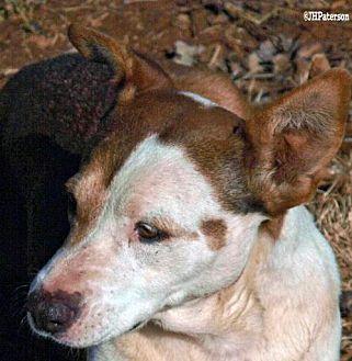 Cattle Dog Mix Dog for adoption in Scottsdale, Arizona - Luna