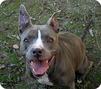 Staffordshire Bull Terrier Mix Dog for adoption in Santa Maria, California - Harriet