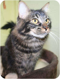 Domestic Mediumhair Cat for adoption in Edmonton, Alberta - Meg
