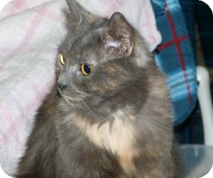 Domestic Longhair Cat for adoption in Stafford, Virginia - Izzy-LH torti