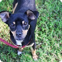 Adopt A Pet :: Colby Cheeze - Houston, TX