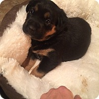 Adopt A Pet :: female puppies - Gilbert, AZ