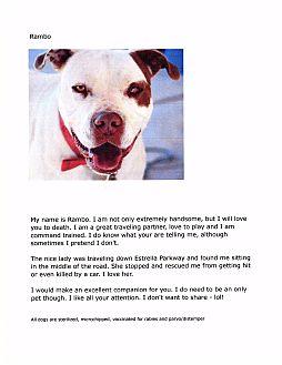 Pit Bull Terrier Mix Dog for adoption in Phoenix, Arizona - Rambo