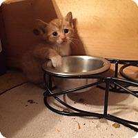 Adopt A Pet :: Junipurr - Piscataway, NJ