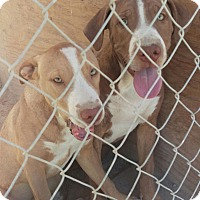 Adopt A Pet :: Crimson - Las Vegas, NV