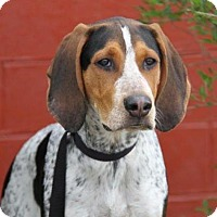 Adopt A Pet :: Pete - Westminster, MD