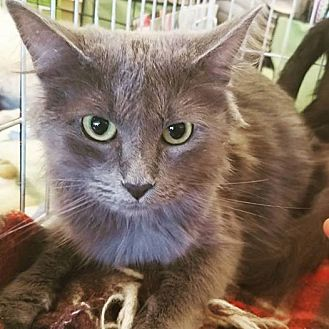 Domestic Mediumhair Cat for adoption in Phoenix, Arizona - Ivy