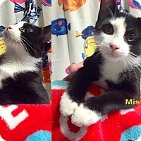Domestic Shorthair Kitten for adoption in Cliffside Park, New Jersey - MISTY